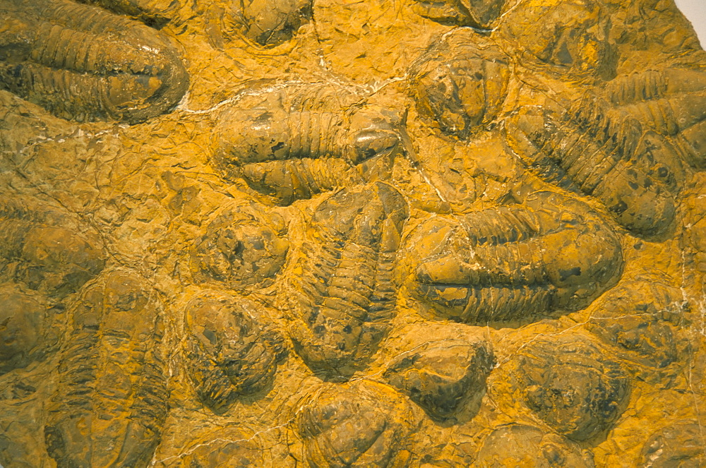 Trilobites (Platypectoides), fossils from the Ordovician, Dades Valley, Morocco, North Africa, Africa