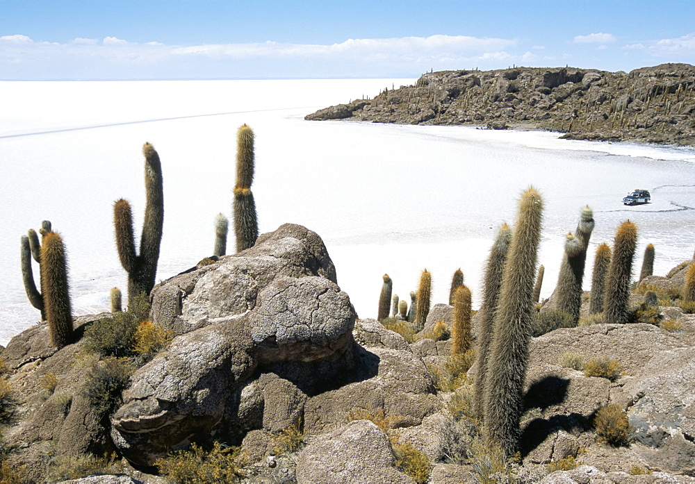 Cacti on Isla de los Pescadores, and salt flats, Salar de Uyuni, Southwest Highlands, Bolivia, South America