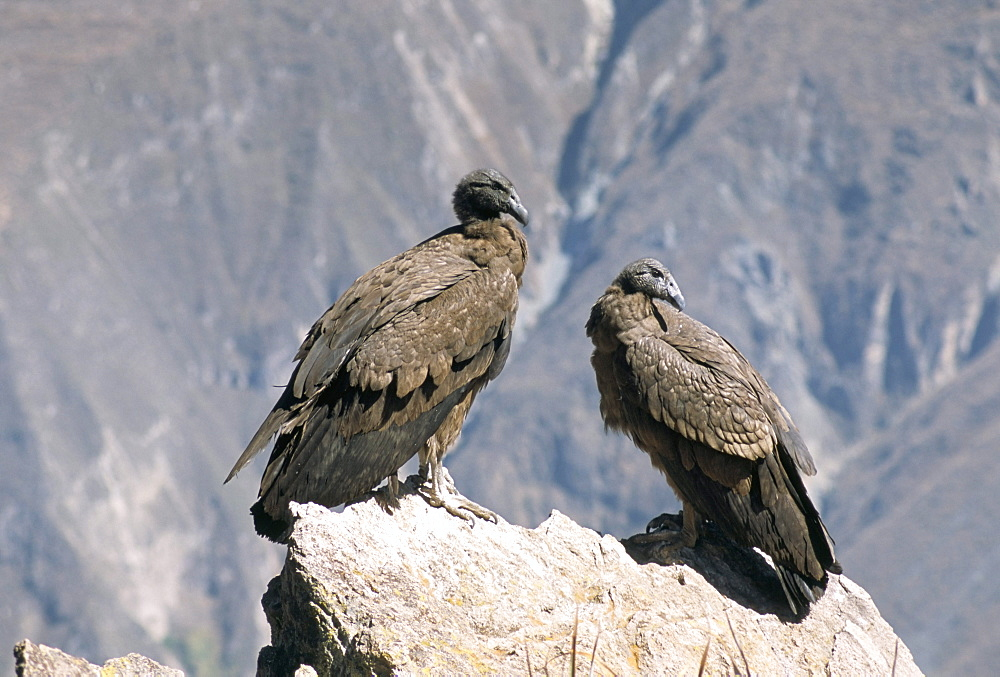 Two condors at Cruz del Condor, Colca Canyon, Peru, South America