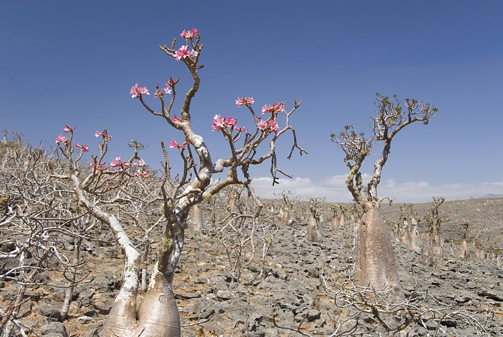 Bottle-tree (Adenium obesum), endemic to island, known as desert rose, Diksam Plateau, central Socotra Island, Yemen, Middle East