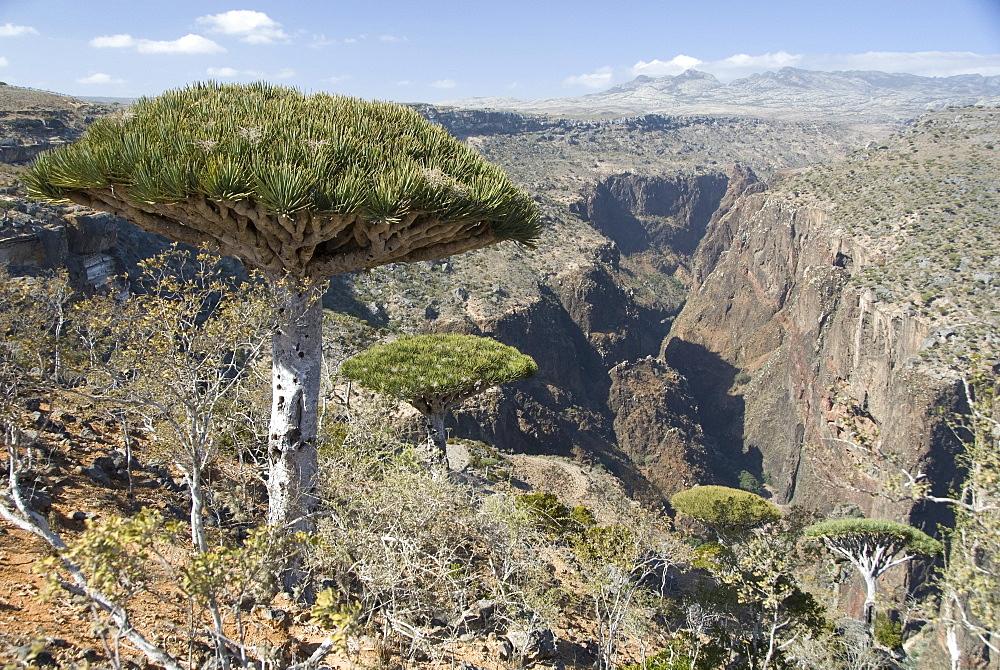 Dearhur Canyon, descending from Hagghir Mountains, Dragon's Blood Trees (Dracaena cinnabari), growing along rim, Diksam Plateau, central Socotra Island, Yemen, Middle East