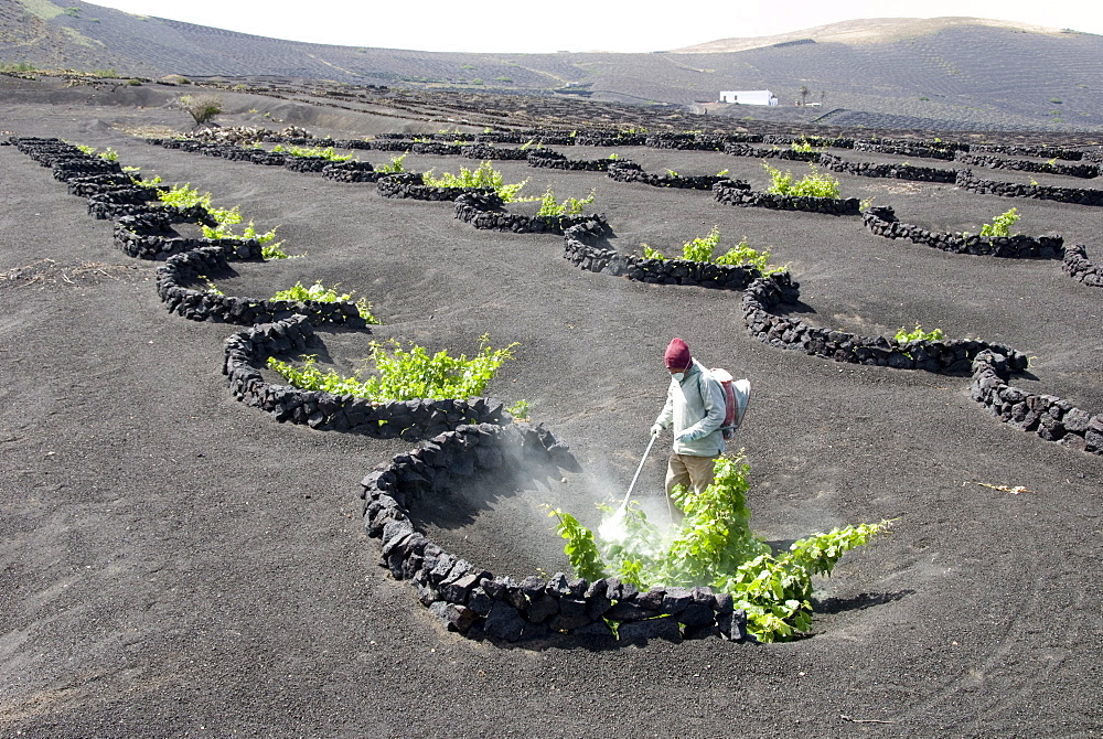 Vineyards of La Geria on volcanic ash of 1730s eruptions, Lanzarote, Canary Islands, Spain, Europe - 29-4960