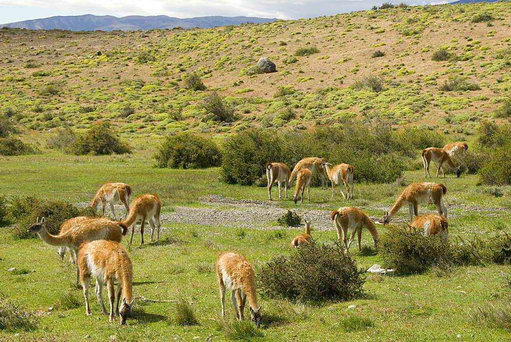 Guanacos, Torres del Paine National Park, Patagonia, Chile, South America
