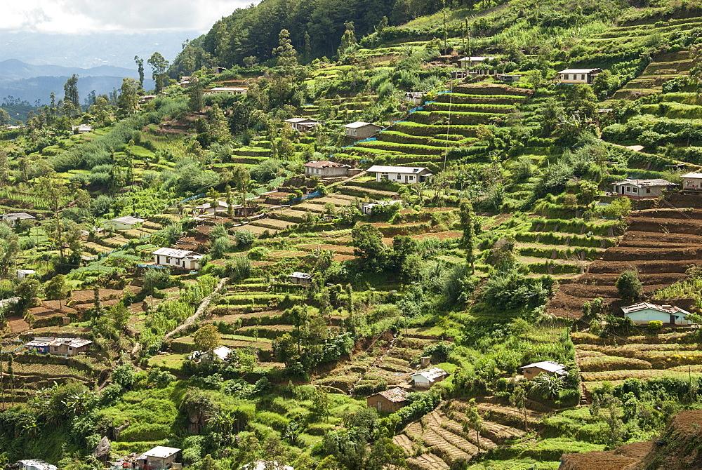 Terraced farmland above Ambewela, Hill Country, Sri Lanka, Asia