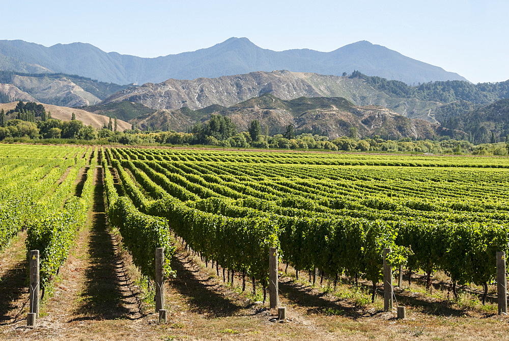 Wairau Valley vineyards, Blenheim, South Island, New Zealand, Pacific - 29-5377