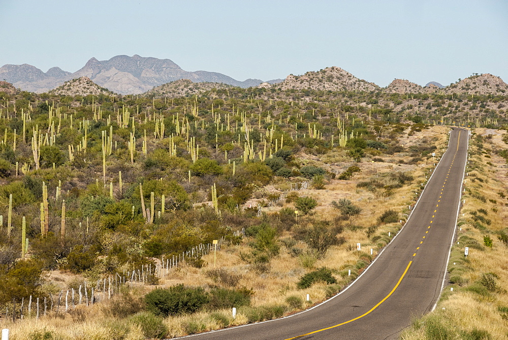 Cardon cacti by main road down Baja California, near Loreto, Mexico, North America