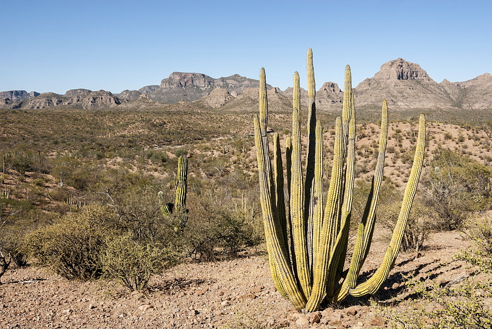 Cardon cactus, near Loreto, Baja California, Mexico, North America
