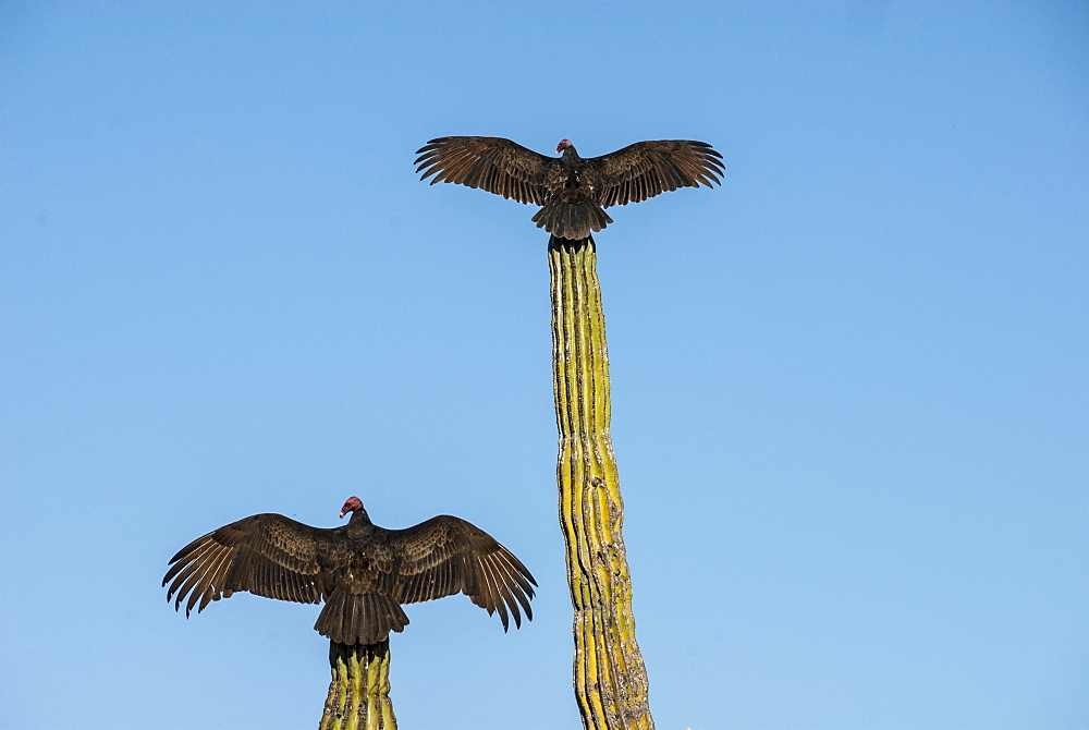 Turkey vultures on Cardon cacti, morning warm-up, San Ignacio, Baja California, Mexico, North America