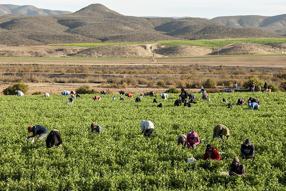 Picking beans, El Rosario, Baja California, Mexico, North America