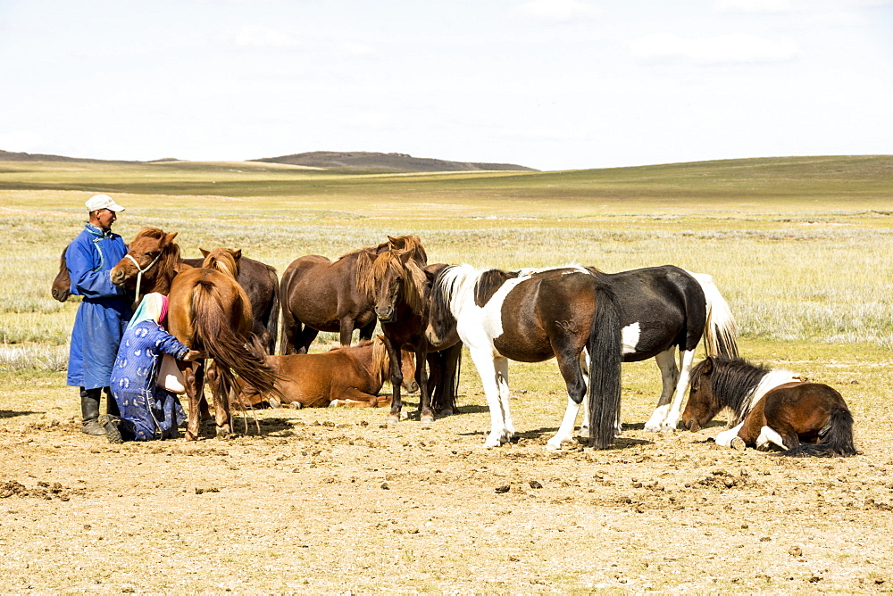 Nomadic herder milking her mares at ger camp on Steppes grasslands of Mongolia, Asia