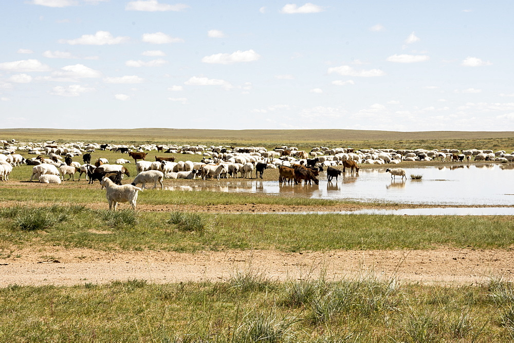Nomadic herders' flock of sheep and goats on Steppes grasslands of Mongolia, Asia - 29-5519