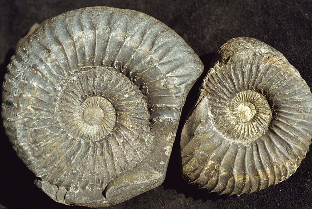 Ammonite fossils, largest one 75mm across, from the Jurassic Spiti shales, Muktinath, Nepal, Asia - 29-926