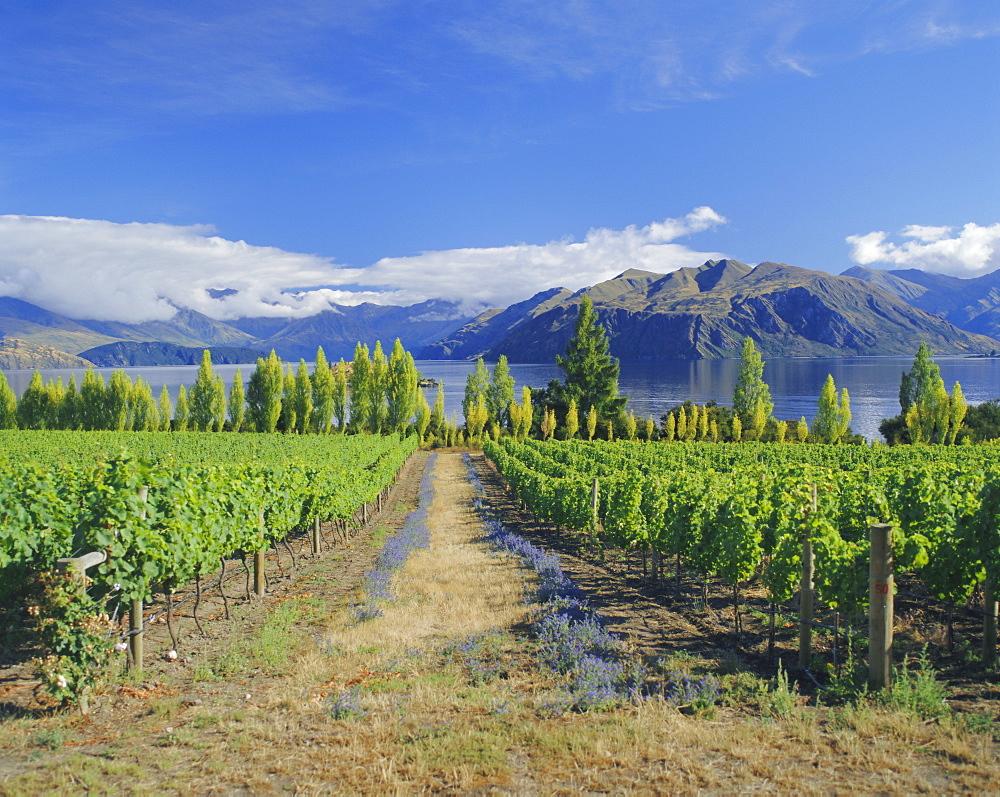 Vineyards at Winery on shores of Lake Wanaka, South Island, New Zealand