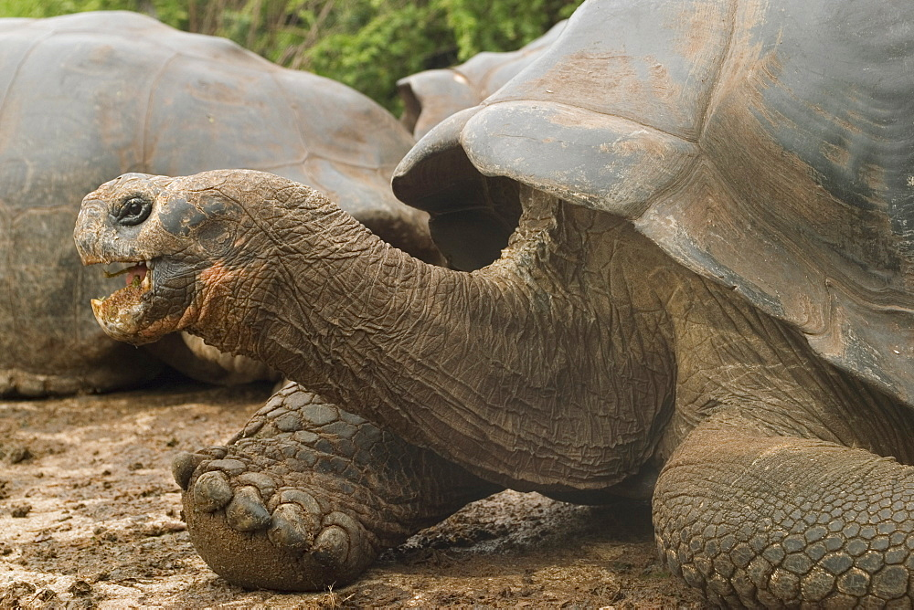 Giant tortoise, Darwin Research Station, Santa Cruz island, Galapagos, Ecuador, South America