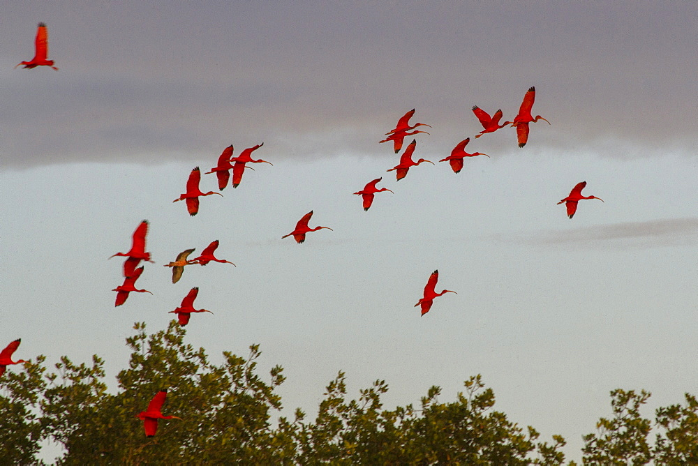 Scarlet ibis return to roost at dusk, Caroni Swamp, Port-of-Spain, Trinidad, West Indies, Caribbean, Central America