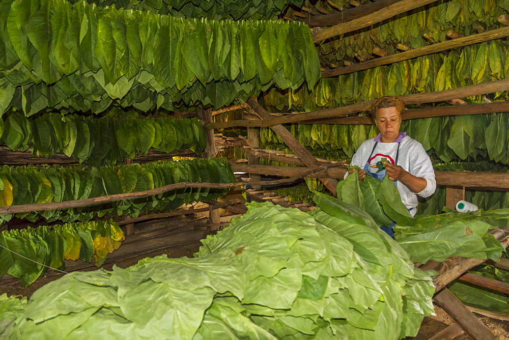 Tobacco drying shed, Pinar del Rio, Cuba, West Indies, Caribbean, Central America - 306-4276