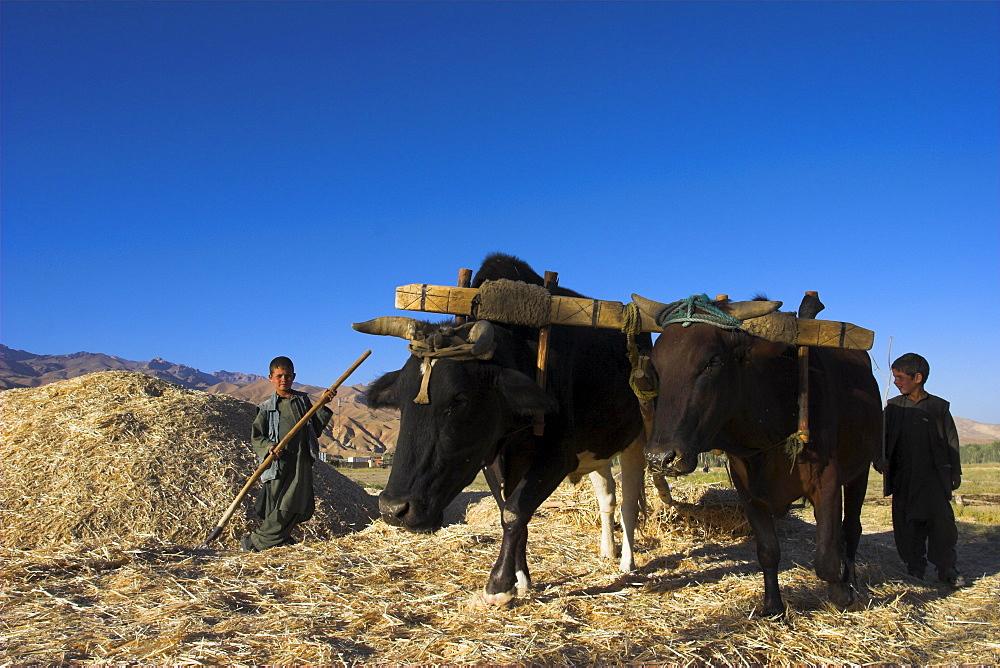 Boys threshing with oxen, Bamiyan, Bamiyan Province, Afghanistan, Asia