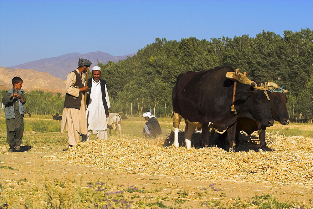Threshing with oxen, Bamiyan Province, Afghanistan, Asia