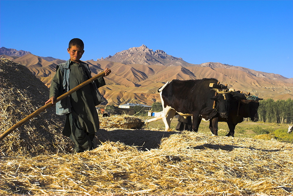 Boy threshing with oxen, Bamiyan Province, Afghanistan, Asia