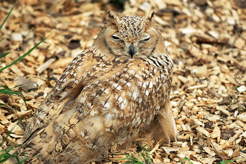 Owl camouflaged by leaves