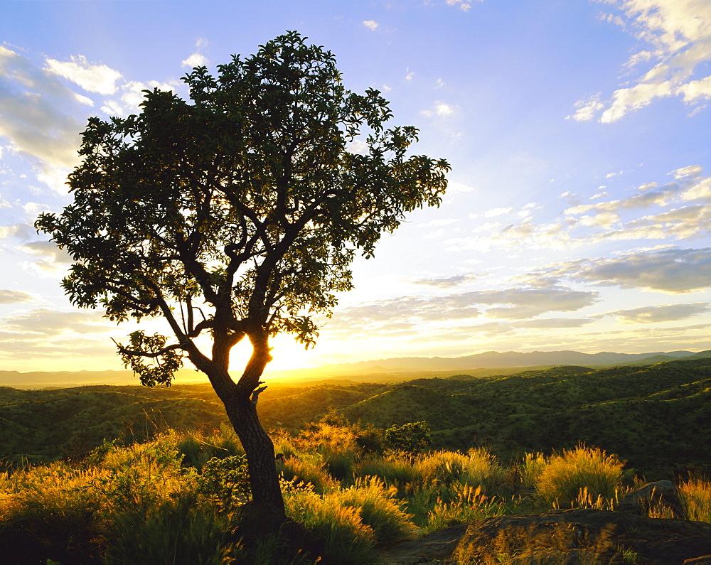 Tree in silhouette at sunrise, Daan Viljoen Game Park, near Windhoek, Namibia