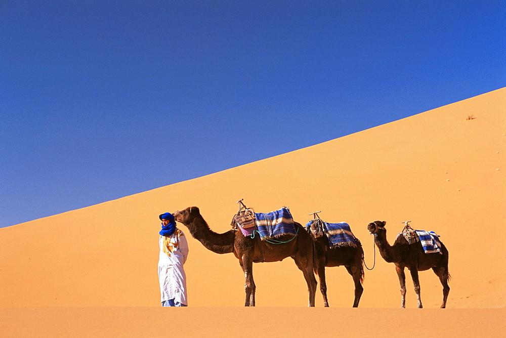 Berber camel leader with three camels in Erg Chebbi sand dunes, Sahara Desert, near Merzouga, Morocco, North Africa, Africa