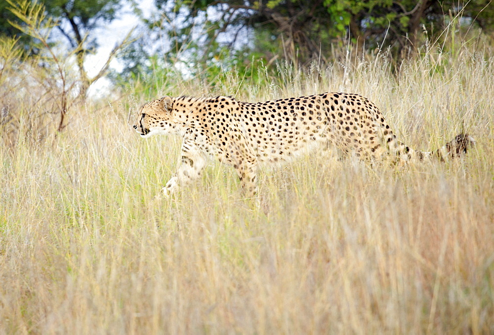Cheetah walking through tall grass, Amani Lodge, near Windhoek, Namibia, Africa