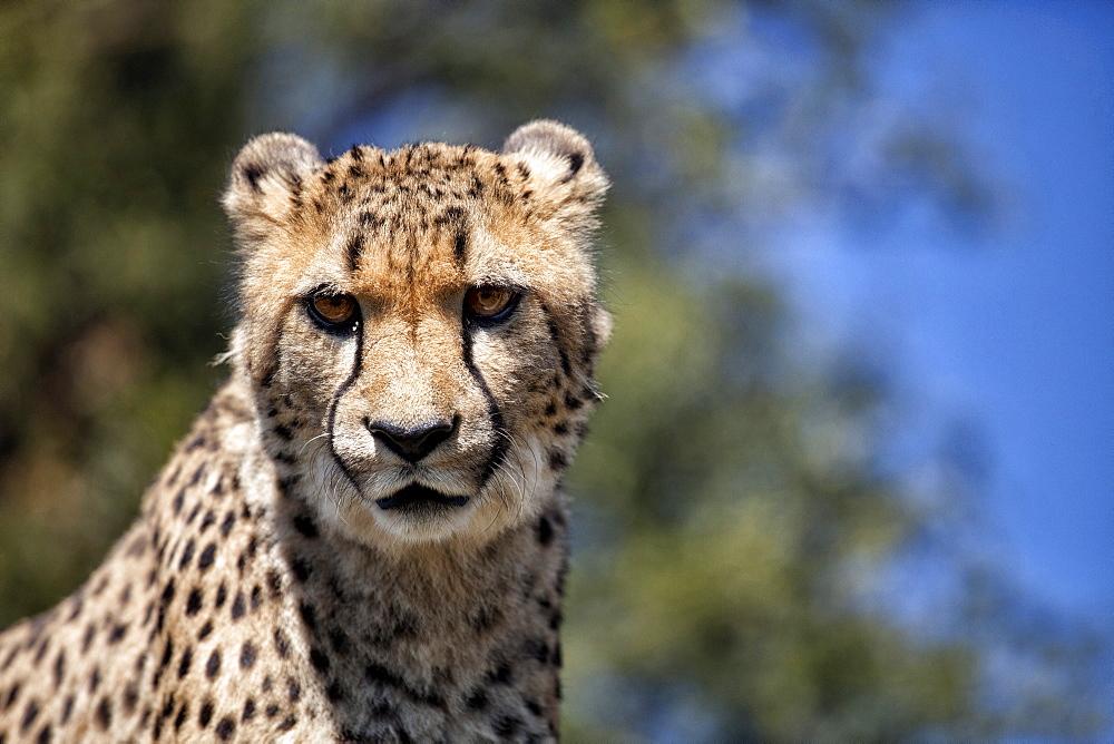 Cheetah against blue sky, Amani Lodge, near Windhoek, Namibia, Africa