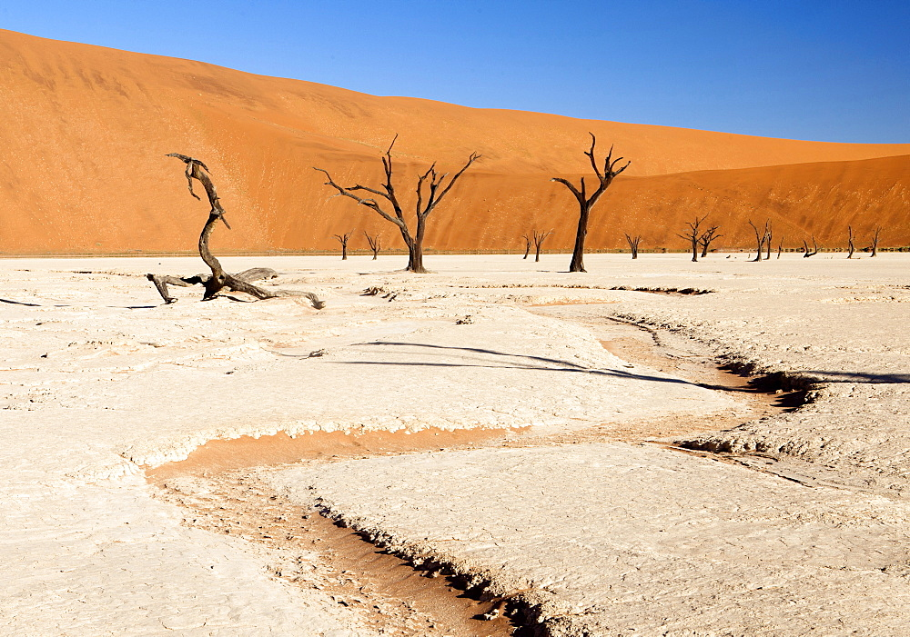 Dried mud pan with ancient camelthorn trees and orange sand dunes in the distance, Dead Vlei, Namib Desert, Namib Naukluft Park, Namibia, Africa