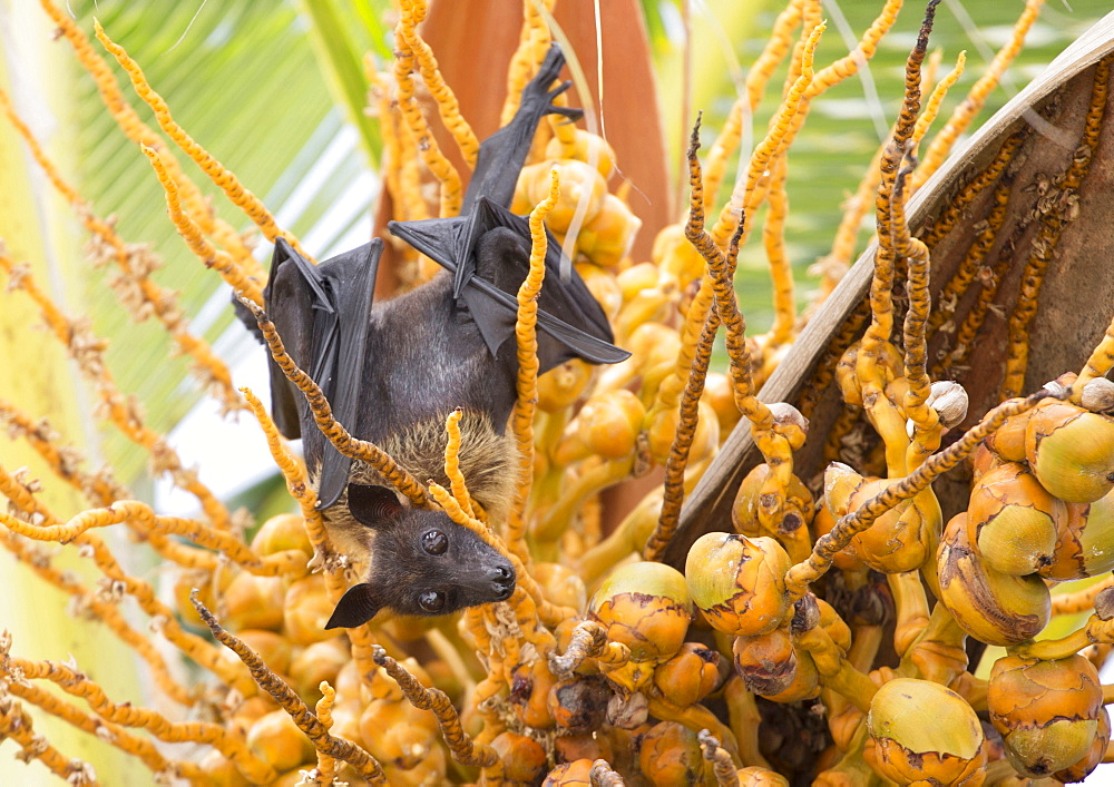 Fruit bat in palm tree, Dhuni Kolhu, Baa Atoll, Republic of Maldives, Indian Ocean, Asia