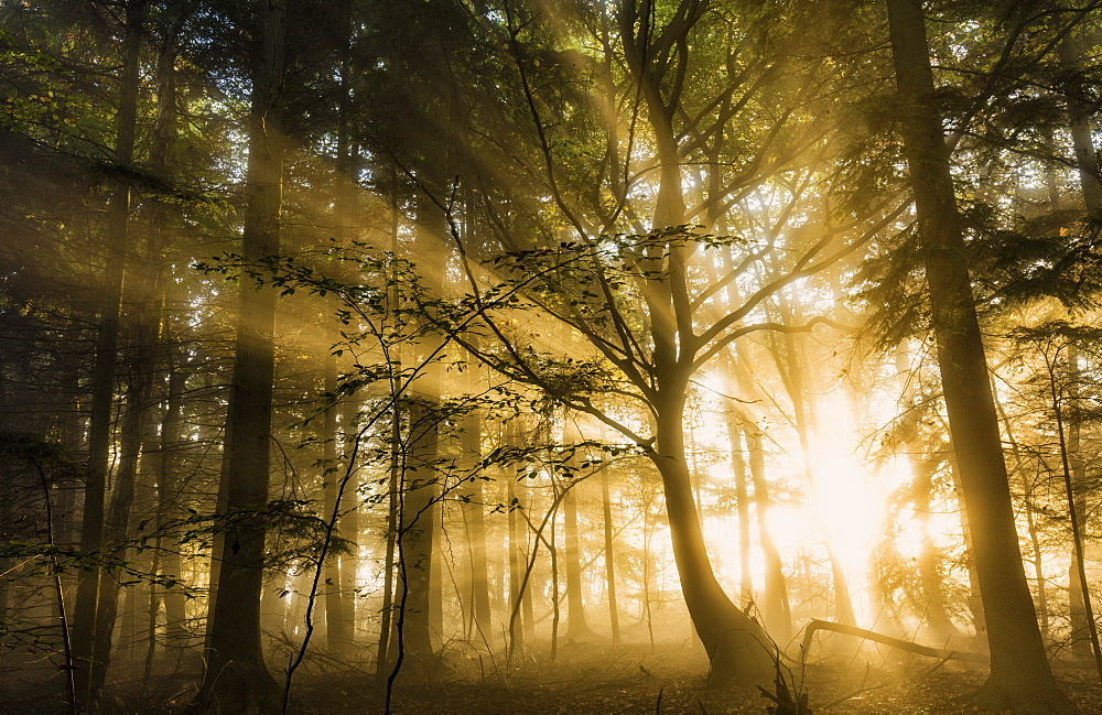 Sunbeams bursting through misty autumnal woodland, Limpsfield Chart, Oxted, Surrey, England, United Kingdom, Europe