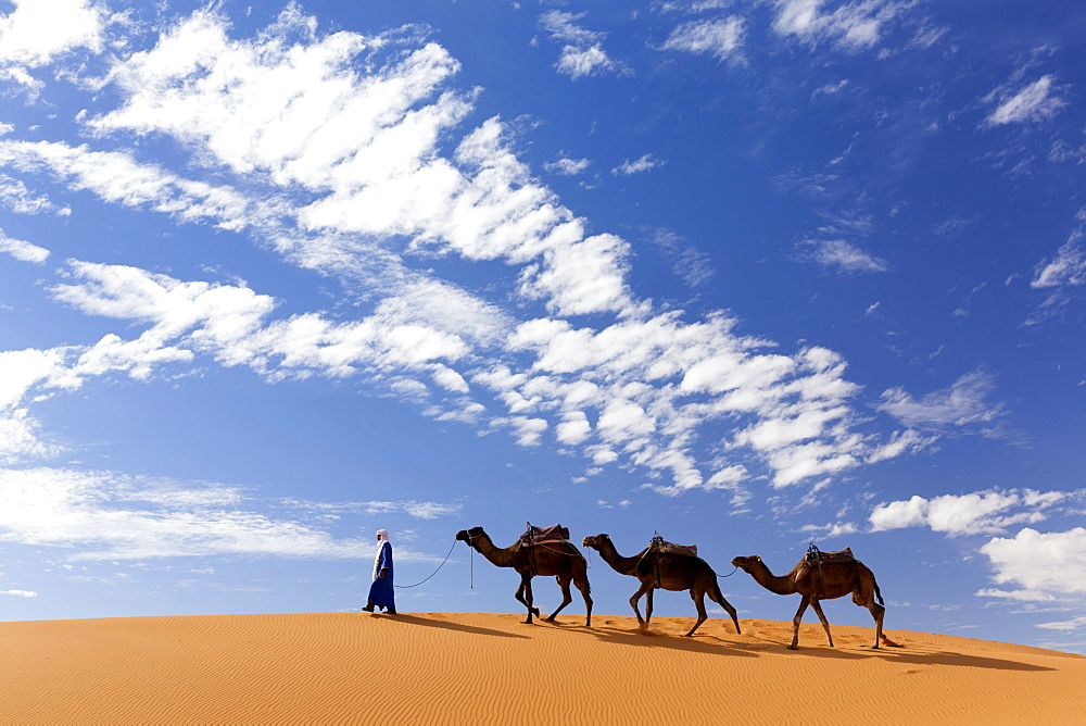 Camels being led over dunes of the Erg Chebbi sand sea, part of the Sahara Desert near Merzouga, Morocco