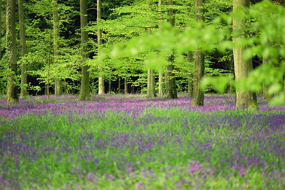 Wild flowers in spring, 100 Acres, Forest of Bere, Hampshire, England, United Kingdom, Europe