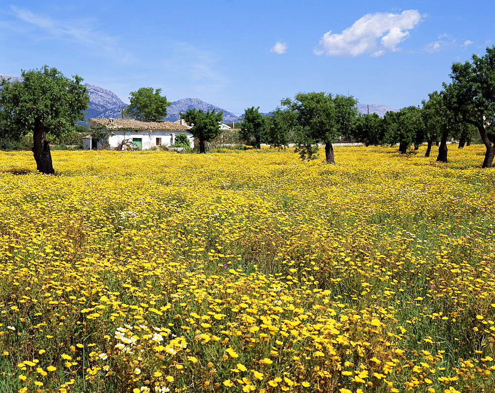 Field of yellow daisies, Majorca, Balearic Islands, Spain, Europe