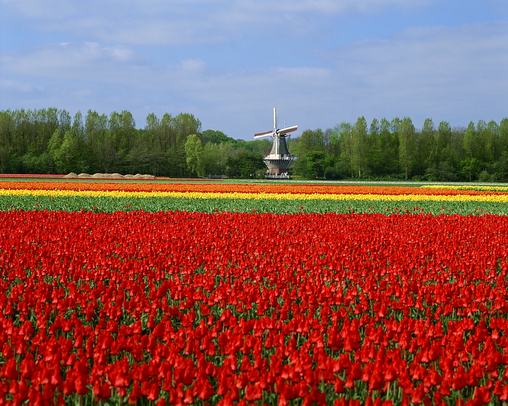 Field of tulips with a windmill in the background, near Amsterdam, Holland, Europe