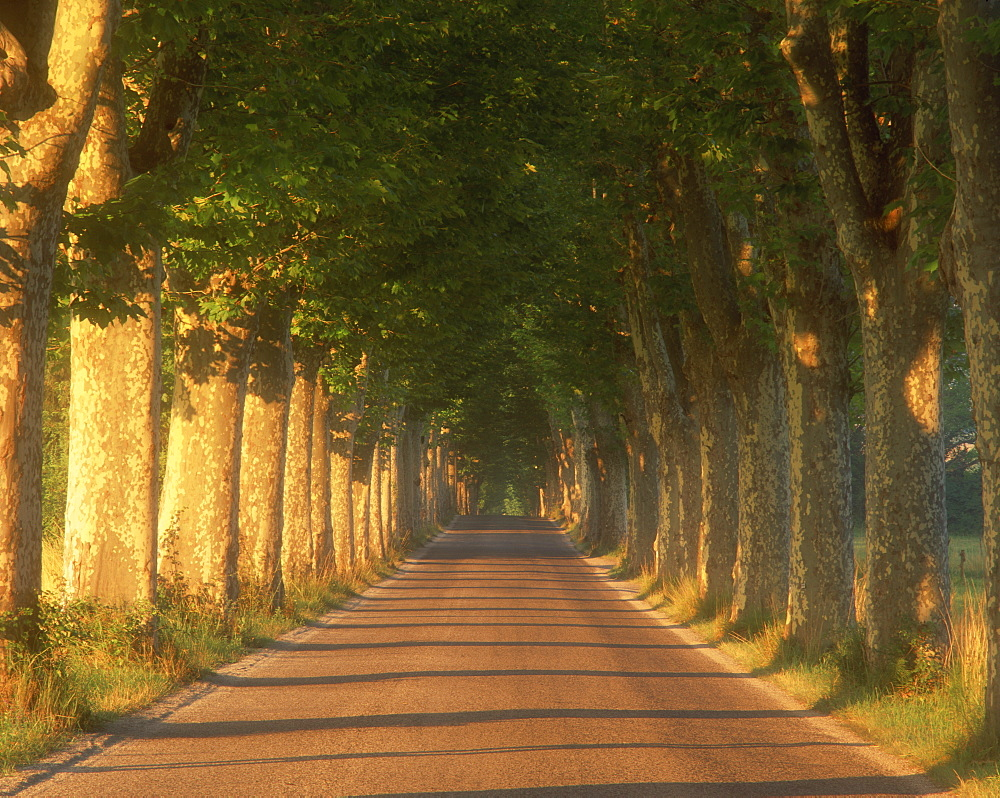 Tree lined road, Provence, France, Europe