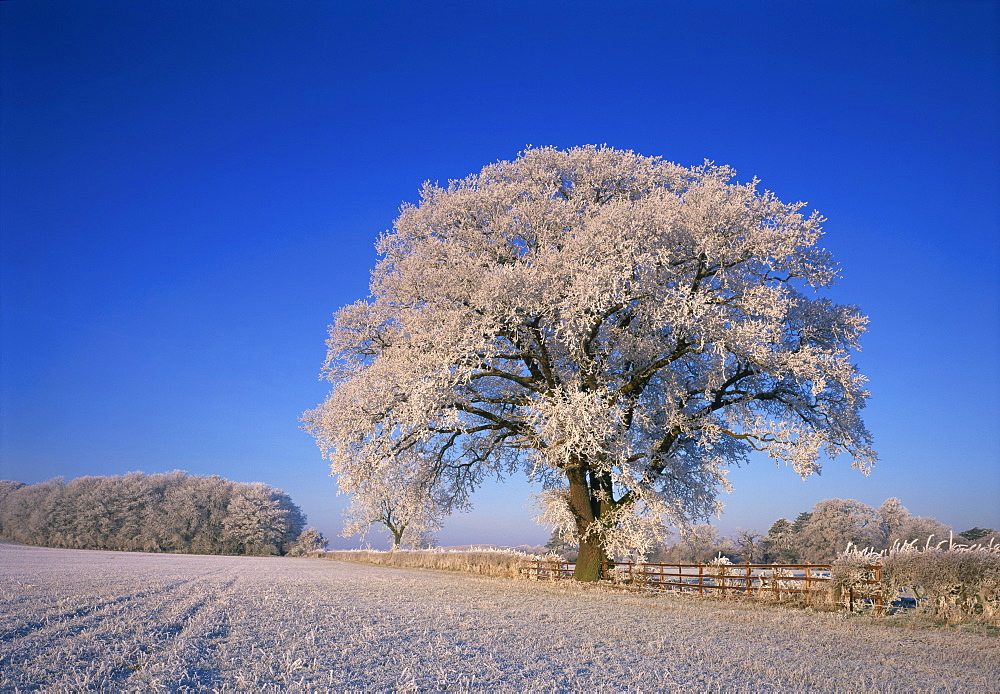 Frosted tree in rural winter scene, Leicestershire, England, United Kingdom, Europe