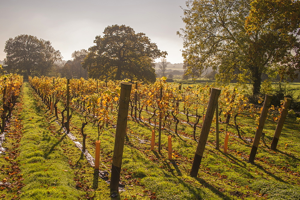 Vineyard, Chapel Down Winery, near Tenterden, Kent, England, United Kingdom, Europe - 358-599