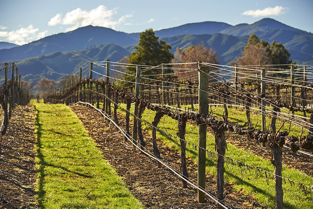 Vines at Saint Clair winery, Blenheim, Marlborough, South Island, New Zealand, Pacific