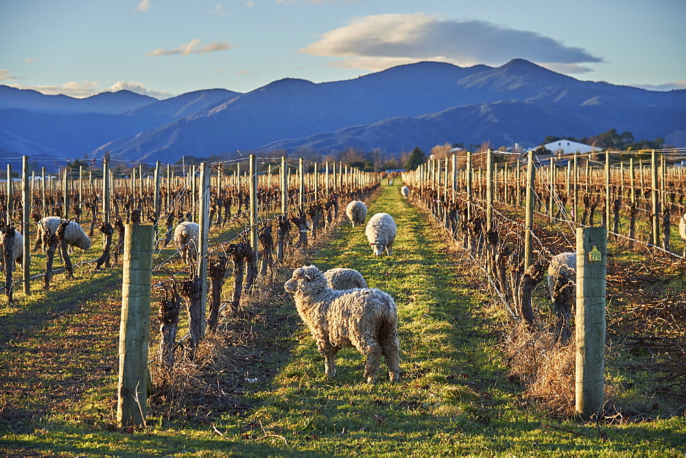Sheep graze amongst vines at a winery near Blenheim, Marlborough, South Island, New Zealand, Pacific