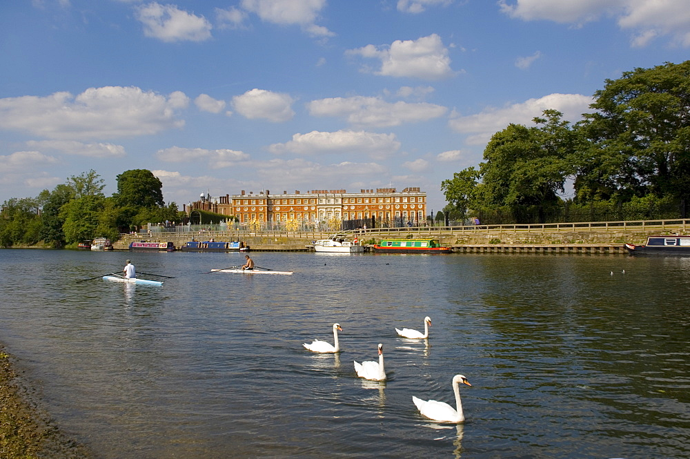 Swans and sculls on the River Thames, Hampton Court, Greater London, England, United Kingdom, Europe