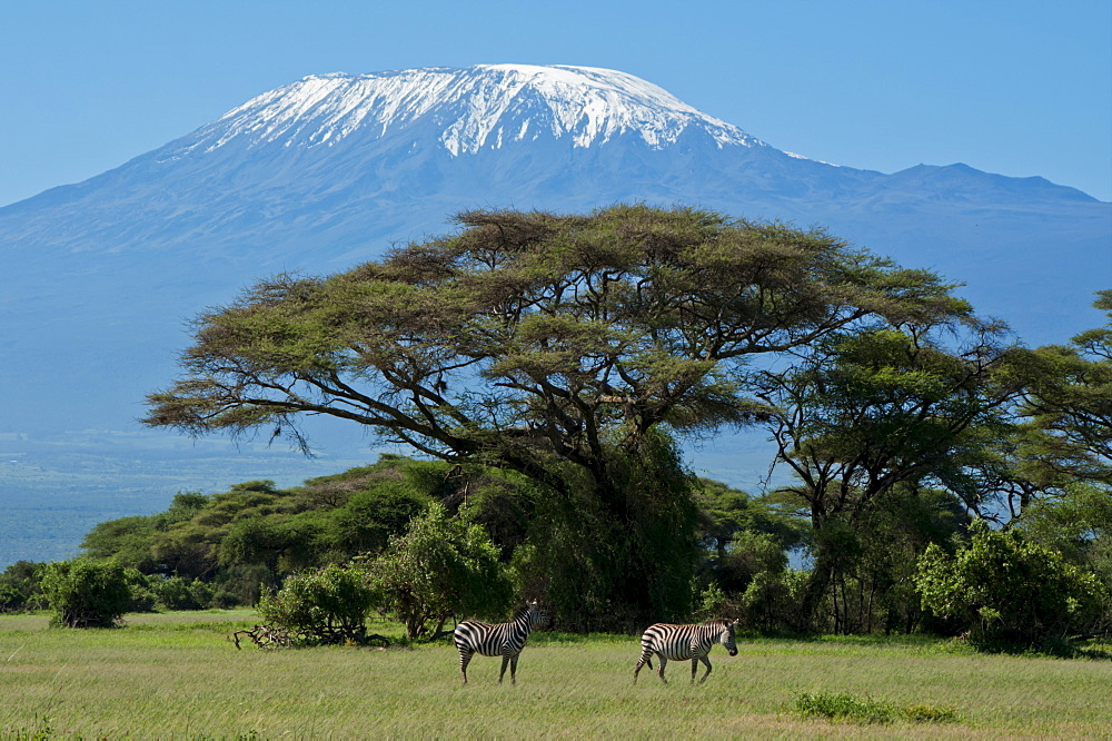 Zebra, Amboseli National Park, with Mount Kilimanjaro in the background, Kenya, East Africa, Africa - 367-5771