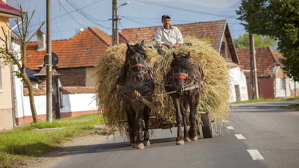 Farmer transporting hay using horse and cart, typical village life near Sighisoara, Transylvania, Romania, Europe