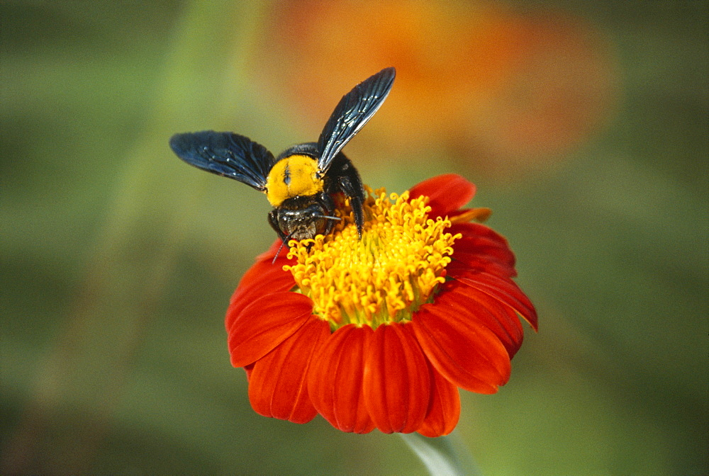 Bumble bee on a dahlia, England, United Kingdom, Europe - 385-383