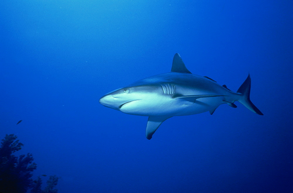 Grey reef shark (Carcharhinus amblyrynchos), Red Sea, Sudan, Africa - 39-5712