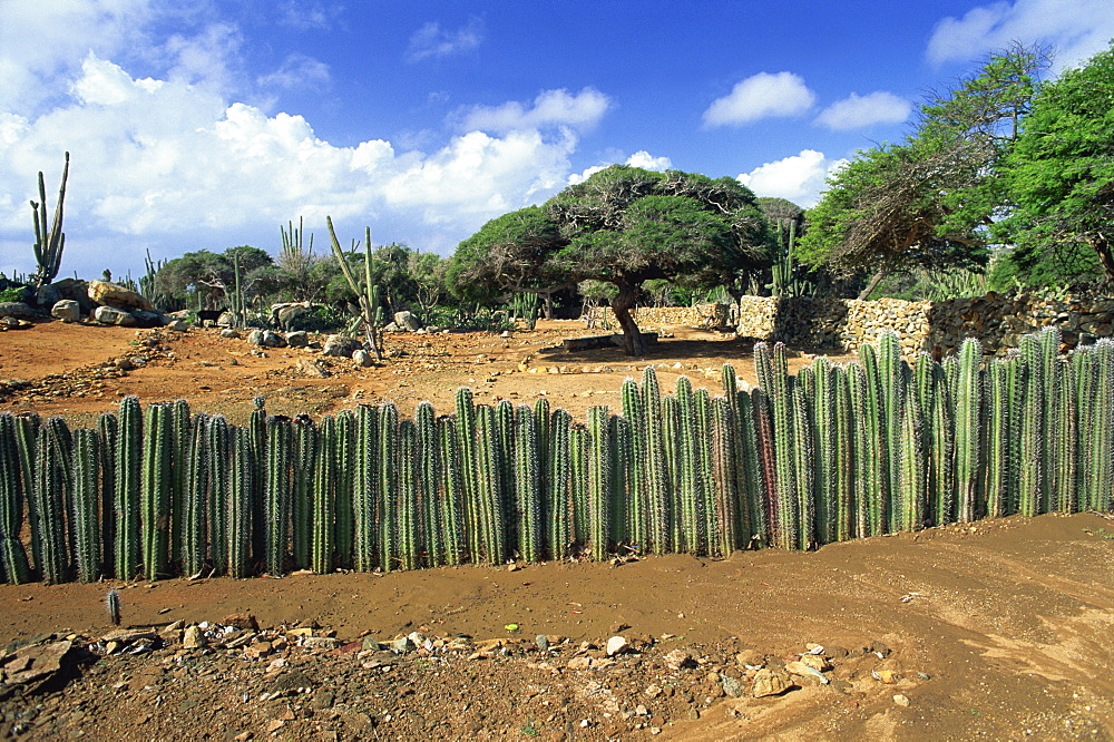 Traditional cactus fence to keep animals away from crops, Cunucu, Aruba, West Indies, Caribbean, Central America - 39-7825