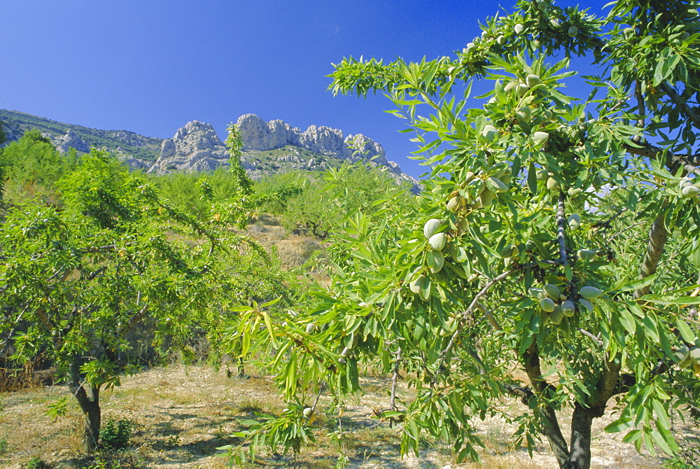 Almond trees in the Sierra de Aitana, Alicante, Valencia, Spain, Europe