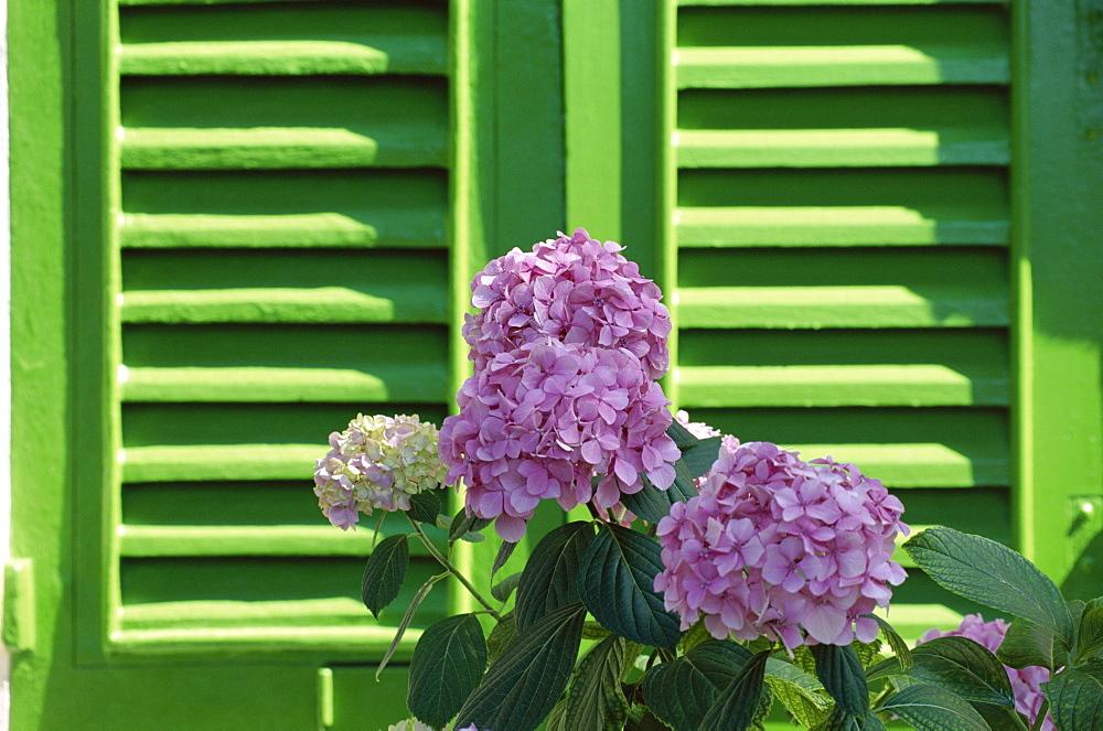 Pink hydrangea flowers in front of green shutters of the Villa Durazzo, Santa Margherita Ligure, Portofino Peninsula, Liguria, Italy, Europe