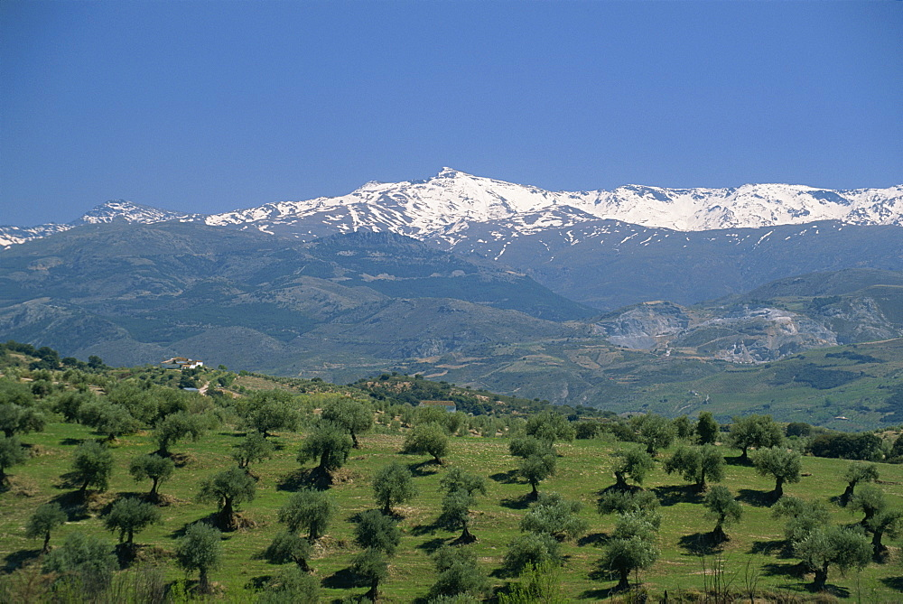 Olive groves with snow-capped Sierra Nevada beyond, near Granada, Andalucia (Andalusia), Spain, Europe