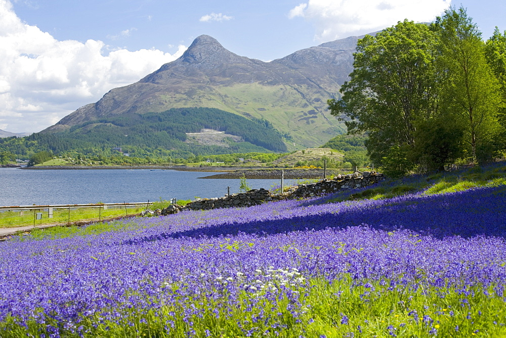 Wild bluebells (Hyacinthoides non-scripta) beside Loch Leven, the Pap of Glencoe beyond, Ballachulish, Highland, Scotland, United Kingdom, Europe - 390-2916